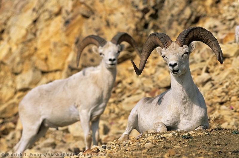 Dall sheep rams, Alaska mountain range, Denali National Park, Alaska.