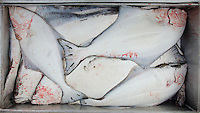 A fish box full of halibut after a charter trip to Montague Island out of Seward in June, 2011.