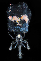 Deep-sea Pram Bug Hyperiid Amphipod (Phronima) with young in a Salp test.