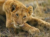 African Lion Photos
