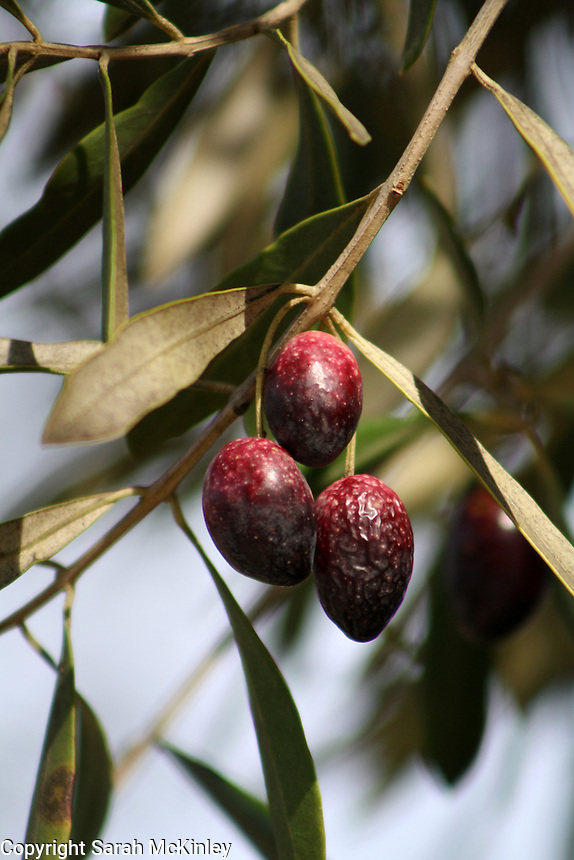 A trio of ripe olives, with red-purple skin, one just getting wrinkly, grow on a branch with long, grayish green leaves.