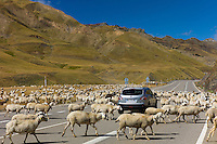 Sheep and goats roaming around Nissan Qashqai 4-wheel drive vehicle on road in Val de Tena in the Pyrenees Northern Spain