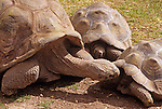 Group of Giant turtles interacting at the Phoenix zoo Phoenix Arizona State USA