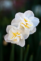 The 'Cheerfulness' daffodil (Narcissus 'Cheerfulness') creamy white petals surround the marvelous double centers of lemon yellow and sometimes pink. Each stem bears three or four smaller flowers making it superb for cutting. This fragrant narcissus blooms late Spring.