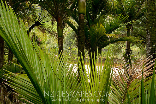 Nikau palm tree leaves and Nikau palms - Kahurangi National Park, West Coast, New Zealand