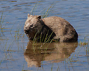Wombat Grazing on Water Reeds<br />