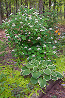 Hydrangea arborescens ?White Dome?  with Hosta Christmas Tree, Lysimachia nummularia 'Aurea', Heuchera, in raised shade garden woodland bed