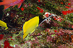 Big Longnose Butterflyfish, Forcipiger longirostris (Broussonet, 1782)