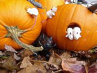 Pumpkin mice: Jack o' lanterns with Halloween mice, Maine
