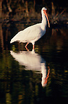 American white ibis and reflection in Everglades National Park, Florida