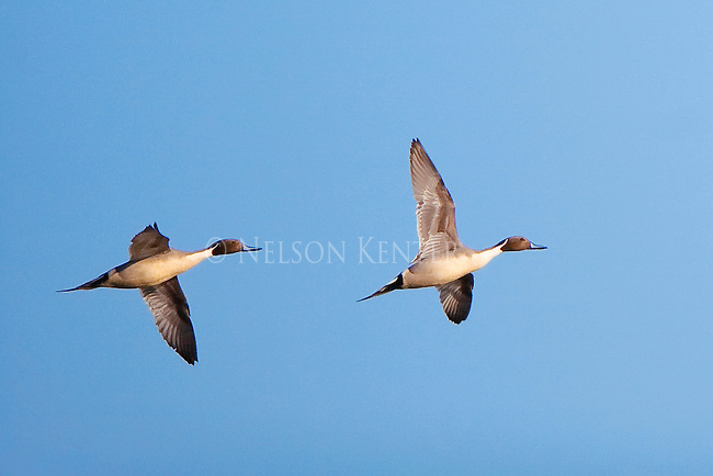 Pintail drake ducks flying against a blue sky at a stop at the Lee Metcalf Wildlife Refuge in the Bitterroot Valley in western Montana