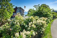Syrener blommar på Dalarö i Stockholms skärgård.
