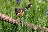 Spotted Towhees hop over the ground beneath dense tangles of shrubs, scratching in leaf litter for food. Look for them in open, shrubby habitat with thick undergrowth.