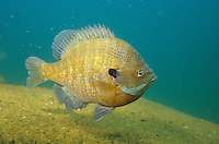 Bluegill<br /> <br /> ENGBRETSON UNDERWATER PHOTO