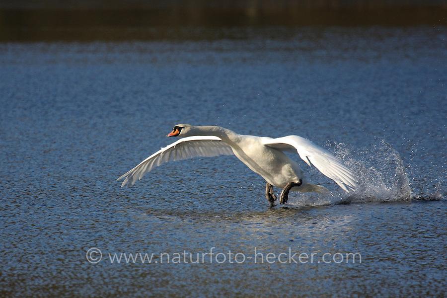 Höckerschwan, Flug, Männchen, Höcker-Schwan, Schwan, Cygnus olor, mute swan