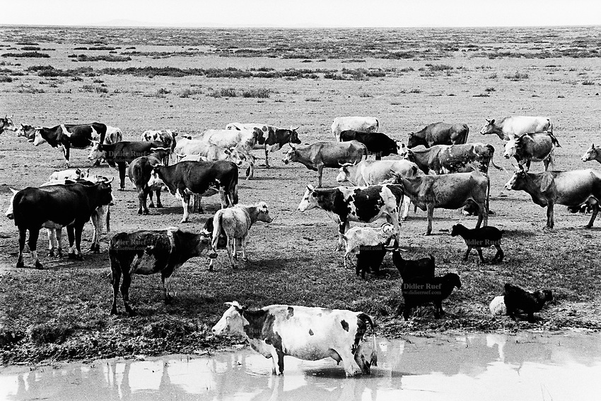 Kazakhstan. Cows and goats graze close to the village of Znamenka. The animals stand on the edge of  the Semipalatinsk Polygon ( called today National Nuclear Center of Kazakhstan) where took place 456 atomic testing - 116 atmospheric, 340 underground - from 1949 to 1989. The area is still radioactive due to fallout from nuclear test sites. The picture shows the landscape and environmental effects of nuclear radiation, genetic contamination through food chain and pollution from atomic tests programs of the former Soviet Union. Ecological disaster. Znamenka is located in the Eastern Kazakhstan Province. © 2008 Didier Ruef ...