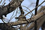 anna's hummingbird in nest in Goleta