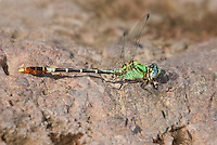 385420003 a wild male straight-tipped ringtail erpetogomphus elaps perches on a rock in bear creek cochise county arizona united states this is the second us record for this species