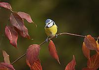 Blue Tit (Parus caeruleus), adult perched on autumn leaves, Oberaegeri, Switzerland, Europe