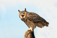 Great Horned Owl (Bubo virginianus), Arizona, USA