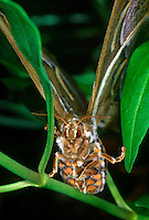 304500005 a captive ailanthus moth samia cynthia perches on a plant stem in a butterfly garden in california - species is introduced from asia to the eastern seaboard and has spotty wild distribution there