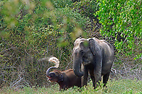 Sri Lankan elephant (Elephas maximus maximus) is one of three recognized subspecies of the Asian elephant, and native to Sri Lanka