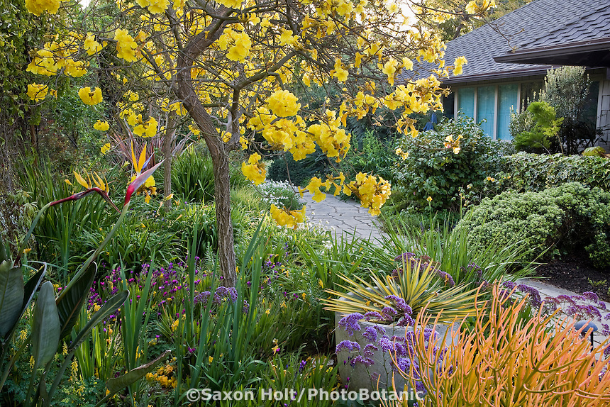 Yellow flowering small Tabebuia tree by entry path and mixed border in Southern California garden