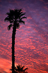 Palm tree silhouetted against a dramatic sunset altocumulus clouds Indio California USA.