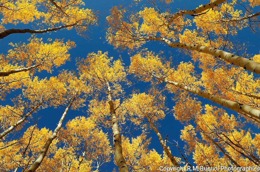 Fall Aspen in Colorado