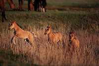 Three spirited foals chase through high grass in the early morning.  <br /> They are part of the Gila herd saved by Karen Sussman with International Society for the Protection of Mustangs and Burros.<br /> The herd was rescued off land in Arizona.  They are bay colored with a dark mane and shorter broom tail.  They other distinctive markings are small stripes on the lower legs and a dark dorsal stripe.  <br /> The original 31 horses were gathered in 1999 the BLM.  Local ranchers recall the horses hiding in the Salt Cedar in 1904.  They have been tested genetically and are remnants of the horses from the Spanish conquistadors.