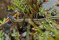 432300001 a wild mountain gartersnake thamnophis elegans elegans crawls along the bank of ash creek at ash creek campground lassen county california