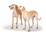 Pair of lurcher dogs standing together, in studio