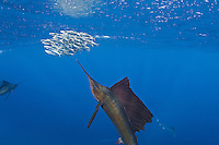 RG42107-D. Atlantic Sailfish (Istiophorus albicans) feeding on Spanish sardines (Sardinella aurita). Gulf of Mexico, Mexico, Caribbean Sea.<br /> Photo Copyright &copy; Brandon Cole. All rights reserved worldwide.  www.brandoncole.com