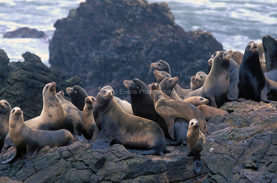 California Sea lions resting on a rocky shoreline, California Channel Islands