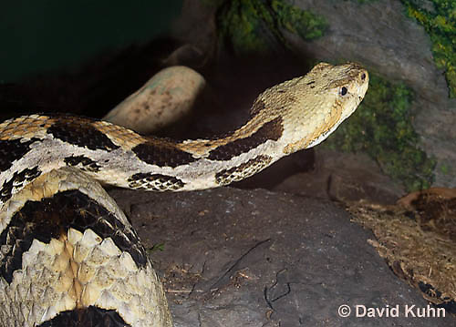 1211-1001  Timber Rattlesnake (Canebrake Rattlesnake), Crotalus horridus  © David Kuhn/Dwight Kuhn Photography
