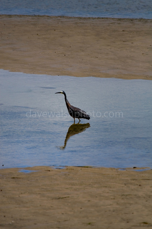 Taken near Murdunna, Tasmania. ......The White-faced Heron, Egretta novaehollandiae, (formerly Ardea novaehollandiae), often known incorrectly as the Grey Heron, is a common bird throughout most of Australasia, including New Guinea, the islands of Torres Strait, Indonesia, New Zealand, the islands of the sub-Antarctic, and all but the driest areas of Australia. It is a relatively small heron, pale, slightly bluish-grey in colour, with yellow legs and white facial markings. It can be found almost anywhere near shallow water, fresh or salt, and although it is prompt to depart the scene on long, slow-beating wings if disturbed, it will boldly raid suburban fish ponds...http://en.wikipedia.org/wiki/White-faced_Heron