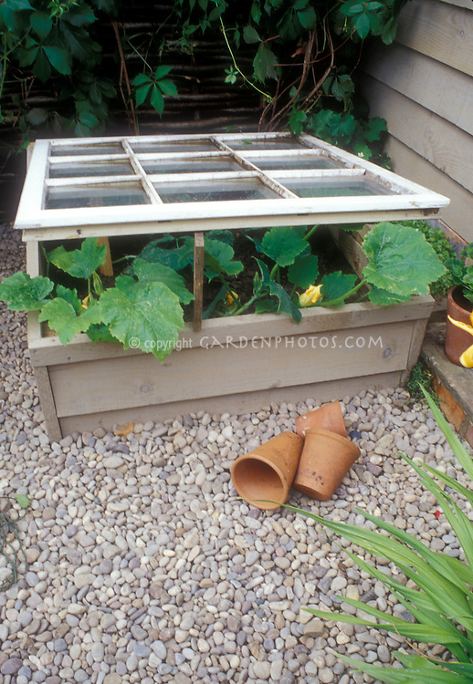 Cold Frame covering Squash vegetable plants next to house