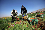 Palestinian farmers harvest a carrot crop, in Tammun village, near the West Bank town of Tubas, on April 30, 2015. The war between Israel and Gaza in the summer of 2014 drove the Palestinian economy of Gaza and the West Bank into its first contraction since 2006, the International Monetary Fund said in January 2015. The turmoil has left unemployment very high in both areas, 19 percent in the West Bank and 41 percent in Gaza. Photo by Nedal Eshtayah