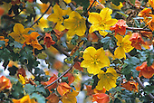 California Flannelbush (Fremontodendron californica), California, USA