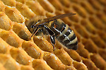 Honey Bee, Apis mellifera, inside hive, showing worker putting honey in storage cells, social, network, .United Kingdom....