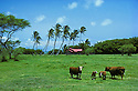 Cattle, pasture and homestead on the eastern side of Molokai Island, Hawaii.