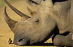 Sleeping white rhino, Ceratotherium simum, with sub-adult redbilled oxpecker, Buphagus erythrorhynchus, Hluhluwe, South AFrica