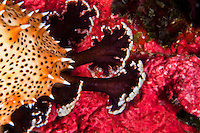 Sea Slug feet feeling their way over a red coral, Yap Micronesia. (Photo by Matt Considine - Images of Asia Collection)