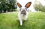 One of the many cute rabbits on the lawn at the University of Victoria in British Columbia, Canada. The University of Victoria has launched a public awareness campaign on the campus feral rabbits and are developing a long-term management plan for the animals, which will include trapping, sterilizing, and adopting some of the rabbits. Photo assignment for the Globe and Mail national newspaper in Canada.