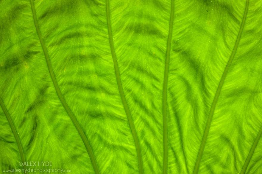 Detail of Giant Elephant Ear Plant leaf underide (Alocasia sp.) tropical rainforest, Maliau Basin, Sabah, Borneo, Malaysia.