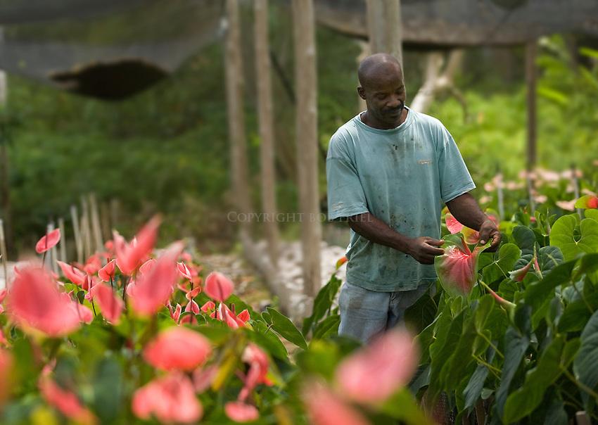 Anthuriums.Tropical Blooms Flower Farm.Suriname, St. Joseph Parish.Barbados.