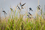 Tree swallows  fight for perches on marsh grass as they gather among thousands for fall migration in the May River near Bluffton, S.C.