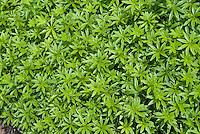 Shade garden plant groundcover Sweet Woodruff, Galium odoratum