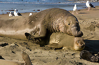 Northern Elephant Seals (Mirounga angustirostris) mating; Central California