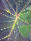 A close-up view of an uahi-a-pele (native Hawaiian variety of kalo or taro) leaf, Big Island.
